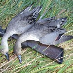 Pair of Pintail Drakes