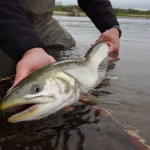 Arctic Char from a remote Bristol Bay stream