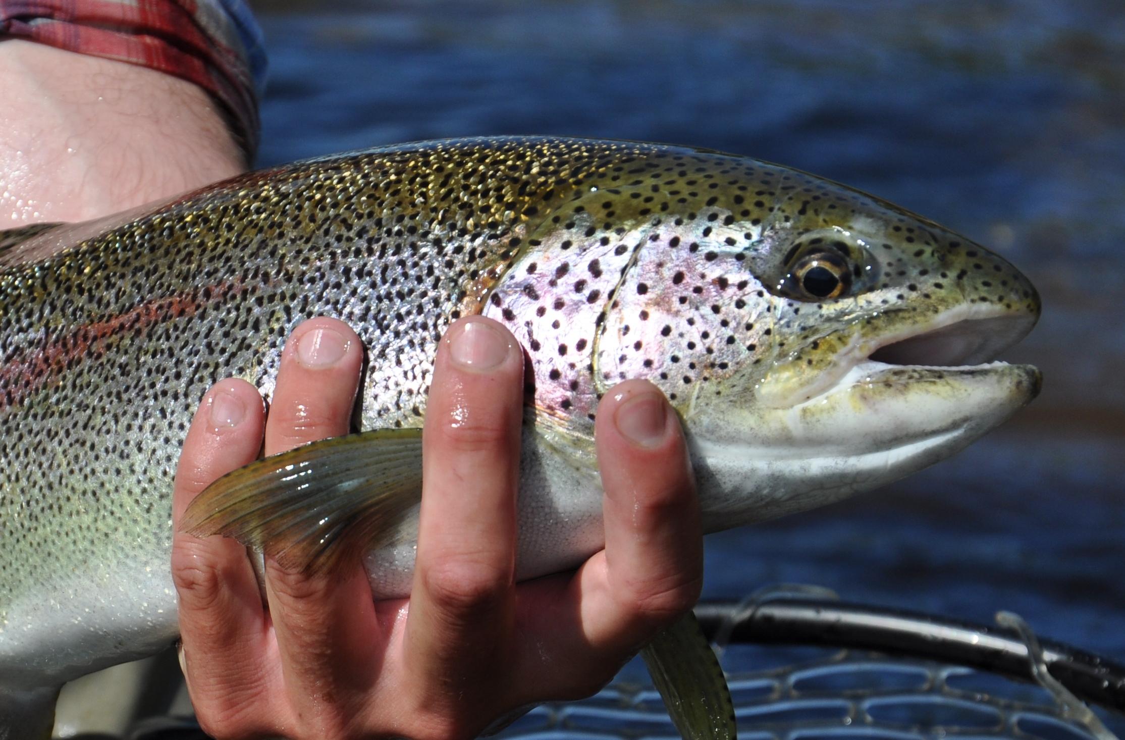 Small Stream Rainbow Trout Fishing Heats Up Crystal Creek Lodge